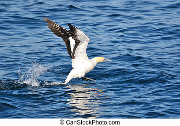 Taking off - A Cape gannet making an sea take-off