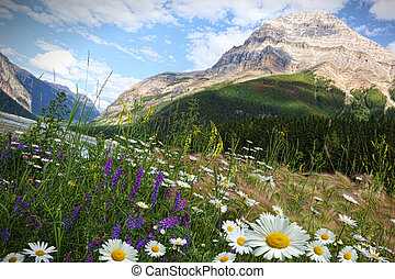 Field of daisies and wild flowers with Rocky Mountains in...