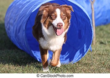Agility training 2 - Australian Shepherd exiting a tunnel...