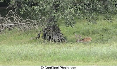 Fallow deer - Two fallow deers grazing under a big tree