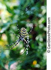 Argiope bruennichi, arachnid also called tiger spider