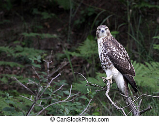 Starring Red-tailed Hawk - A perched Red-tailed Hawk Buteo...