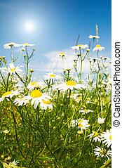 Silence camomiles,sun and blue sky. - Wonderful camomiles...