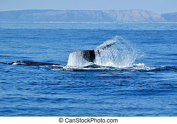 Lobtailing - A southern right whale tail near Hawston...