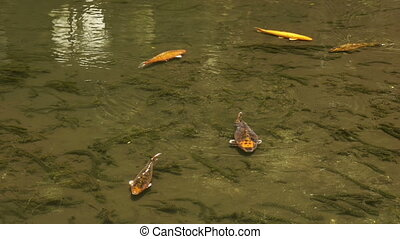 Koi Fishes Swimming