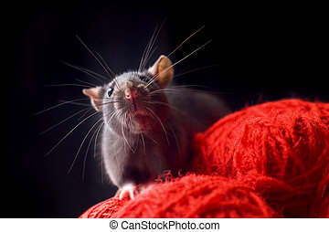 Black rat - Rat with long whiskers sit on red yarn