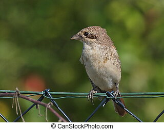 Red backed Shrike (immature)