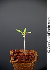 Tomato Seedling - A tomato seedling in a small fiber pot