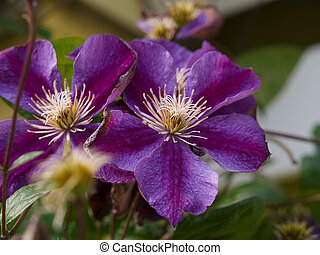 Beautiful pink purple clematis - Beautiful pink purple...