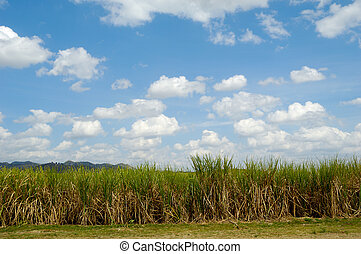 Sugar cane field from the Dominican Republic - Sugarcane...
