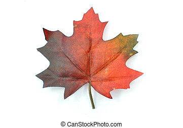 Autumn leaf - Autumn maple leaf on a white background