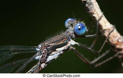Close-up of a Damselfly - Close-up of a blue Damselfly on a...