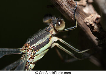 Close-up of a Damselfly on a twig.