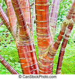 Cherry birch tree - Close up of a cherry birch tree