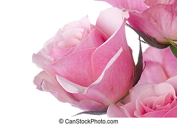 Pink Rose - Close-up of a pink rose isolated on a white...