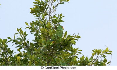White Fronted Parrot On Tree Tops