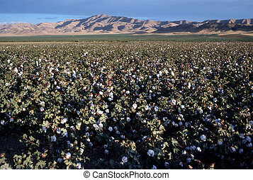 Cotton Field, California