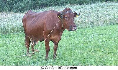 cow 7 - cow with ear tag in the pasture