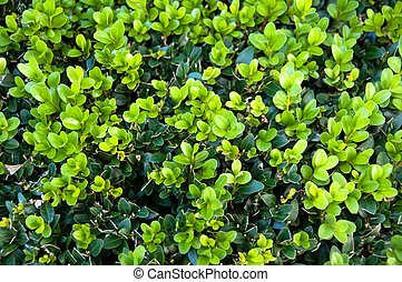 Buxus Sempervireus - Leaves of the Box tree Buxus garden...