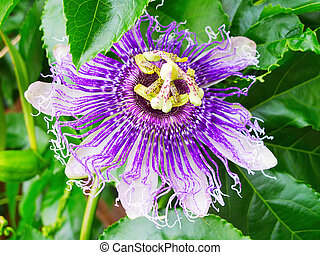 Maracuja (passion fruit) flower - Exotic Maracuja (passion...
