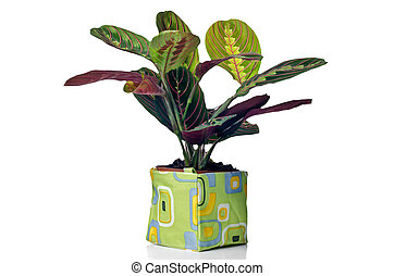 Houseplant in modern plastic pot isolated on white...