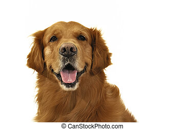 Golden Retriever dog face. Looking at camera.