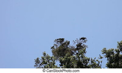 noisy crows in a tree - a flock of crows gathers in a tree,...