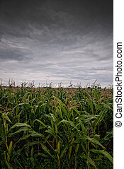 Cornfield and rain clouds - The picture shows a cornfield...