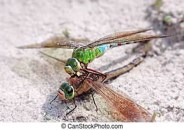 Be in contact - Two dragonflyes coupling - focus on its...
