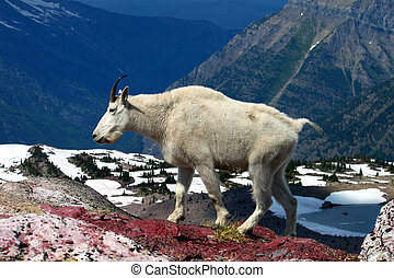 Mountain Goat (Oreamnos americanus) at Sperry Glacier in...