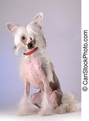 Portrait of Chinese Crested Dog