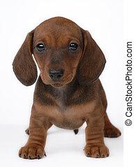 Smooth-haired Dachshund puppy