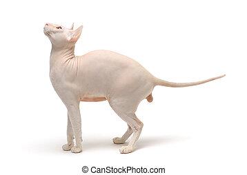 Peterbald cat, Oriental Shorthairl