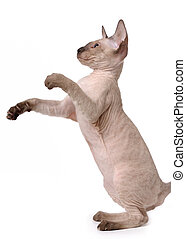 Brown Peterbald cat, Oriental Shorthair standing on his back...
