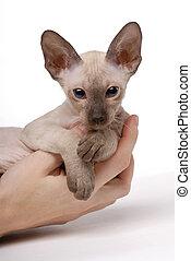 Brown Peterbald cat, Oriental Shorthair on hands