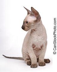 Brown Peterbald cat, Oriental Shorthair