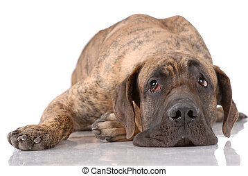 German mastiff isolated on white