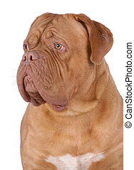 Dogue de Bordeaux - Portrait of Dogue de Bordeaux