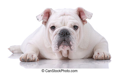Smooth-haired English Bulldog