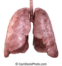 Healty lungs isolated on white. 3d render