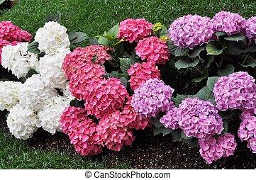 Hortensia flower - Hydrangea Hortensia flower of plantae...