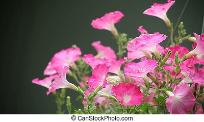 pink petunias - pink and white petunias in full bloom in a...