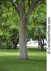 Large Cottonwood shade tree in a city park - Trunk of a tall...