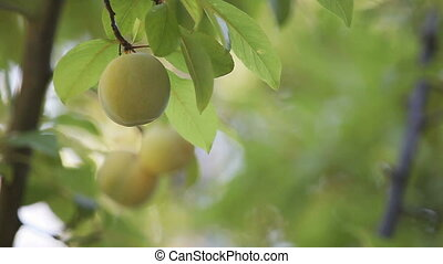 plums on a tree - green plums ripening on a tree with copy...