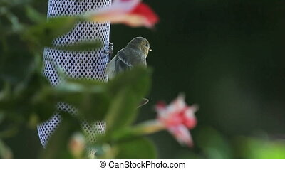 young goldfinch begs for food - although it can feed itself,...