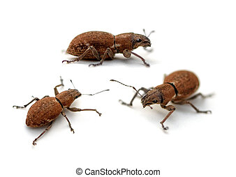 Weevil - Fuller Rose Beetles Naupactus cervinus Weevils on a...