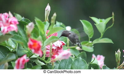 hummingbird in flowers - a hummingbird feeds from colorful...