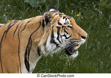 Indian tiger prowling