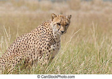 Cheetah watchful in grassland