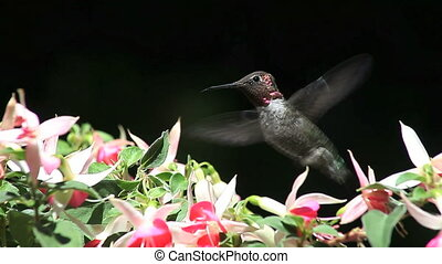 hummingbird in fuchsia flowers - a hummingbird finds nectar...